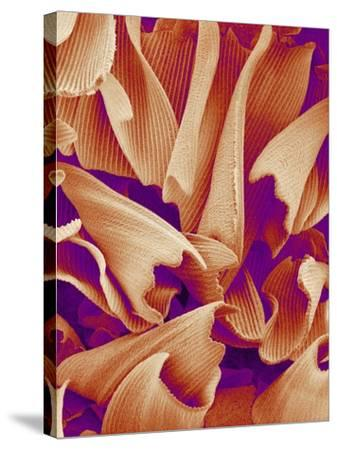 Butterfly Wing Scales, SEM-Susumu Nishinaga-Stretched Canvas Print
