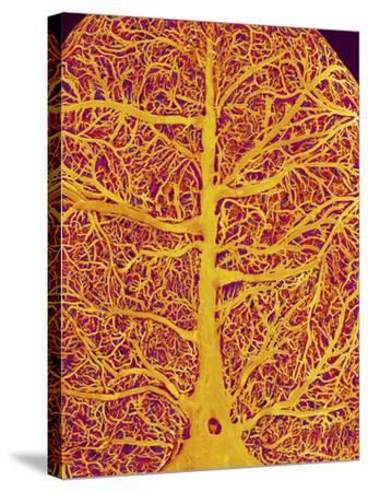 Rat Brain Blood Vessels, SEM-Susumu Nishinaga-Stretched Canvas Print