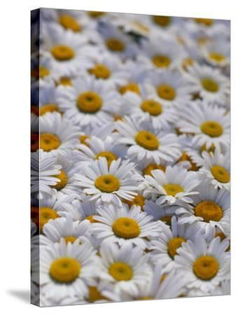 White Daisy Flowers-David Nunuk-Stretched Canvas Print