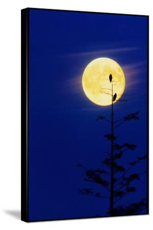 Bald Eagles Silhouetted Against a Full Moon-David Nunuk-Stretched Canvas Print