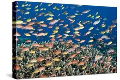 Fairy Basslets Over a Reef-Matthew Oldfield-Stretched Canvas Print