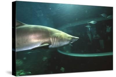 Shark In Aquarium-Alexis Rosenfeld-Stretched Canvas Print