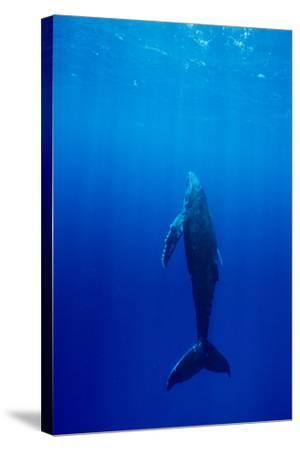 Humpback Whale-Alexis Rosenfeld-Stretched Canvas Print