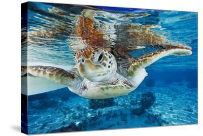 Green Turtle-Alexis Rosenfeld-Stretched Canvas Print