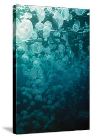 Moon Jellyfish-Peter Scoones-Stretched Canvas Print