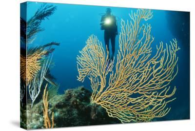 Sea Fan-Alexis Rosenfeld-Stretched Canvas Print