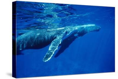Humpback Whale Baby-Alexis Rosenfeld-Stretched Canvas Print