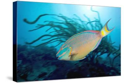 Stoplight Parrotfish Supermale-Peter Scoones-Stretched Canvas Print
