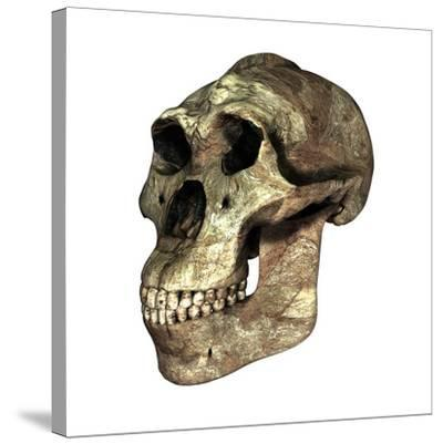 Australopithecus Boisei Skull-Friedrich Saurer-Stretched Canvas Print