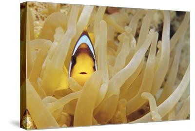 Twoband Anemonefish-Alexis Rosenfeld-Stretched Canvas Print
