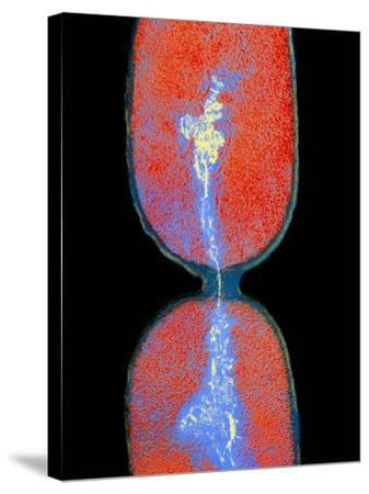 Cell Division In Salmonella Bacterium-Dr. Kari Lounatmaa-Stretched Canvas Print