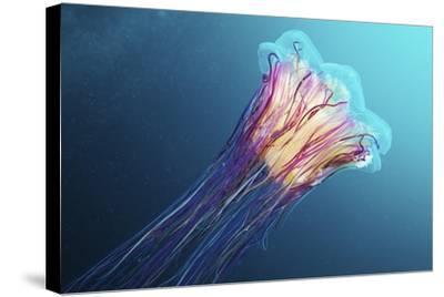 Lion's Mane Jellyfish, Japan-Alexander Semenov-Stretched Canvas Print