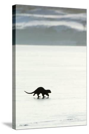 European Otter on Sea Ice-Duncan Shaw-Stretched Canvas Print