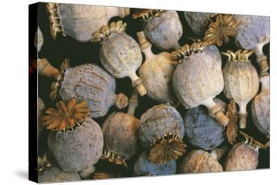 Dried Opium Poppies-Alan Sirulnikoff-Stretched Canvas Print