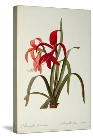 Amaryllis Formosissima, 1808, from 'Les Liliacees' by Pierre Redoute, 8 Volumes, Published 1805-16-Pierre-Joseph Redout?-Stretched Canvas Print