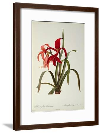 Amaryllis Formosissima, 1808, from 'Les Liliacees' by Pierre Redoute, 8 Volumes, Published 1805-16-Pierre-Joseph Redout?-Framed Giclee Print