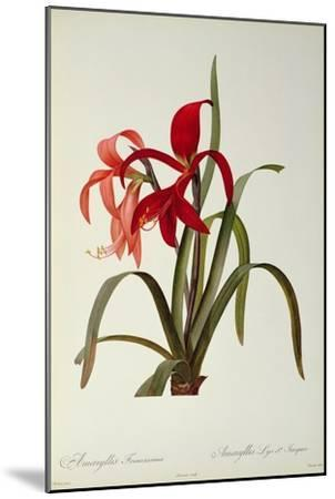 Amaryllis Formosissima, 1808, from 'Les Liliacees' by Pierre Redoute, 8 Volumes, Published 1805-16-Pierre-Joseph Redout?-Mounted Giclee Print