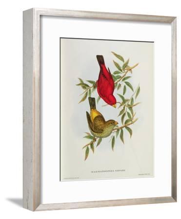 Haematospiza Sipahi, Illustration from 'Birds of Asia', Vol. I, Parts I-Vi,By John Gould, 1850-54-John Gould-Framed Giclee Print