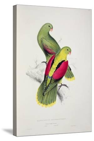 Crimson-Winged Parakeet-Edward Lear-Stretched Canvas Print