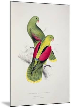 Crimson-Winged Parakeet-Edward Lear-Mounted Giclee Print