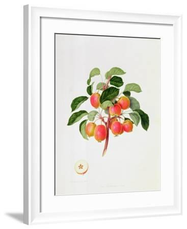 The Tartarian Crab Apple, 1819-William Hooker-Framed Giclee Print