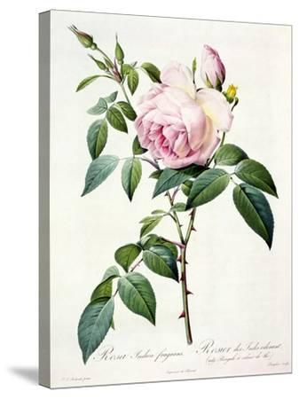 Rosa Indica Fragrans, Engraved by Langlois, Published by Remond-Pierre-Joseph Redout?-Stretched Canvas Print