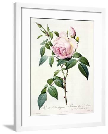 Rosa Indica Fragrans, Engraved by Langlois, Published by Remond-Pierre-Joseph Redout?-Framed Giclee Print
