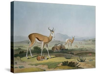 The Spring-Bok or Leaping Antelope, Plate 18 from 'African Scenery and Animals', Engraved by the…-Samuel Daniell-Stretched Canvas Print