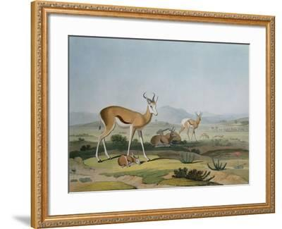 The Spring-Bok or Leaping Antelope, Plate 18 from 'African Scenery and Animals', Engraved by the…-Samuel Daniell-Framed Giclee Print
