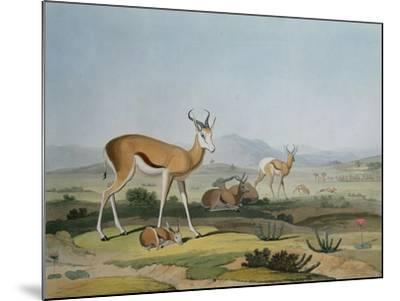 The Spring-Bok or Leaping Antelope, Plate 18 from 'African Scenery and Animals', Engraved by the…-Samuel Daniell-Mounted Giclee Print