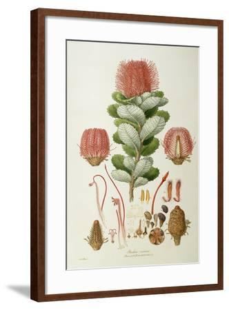 Banksia Coccinea, from 'Illustrationes Florae Novaie Hollandiae', Published 1813-Ferdinand Bauer-Framed Giclee Print
