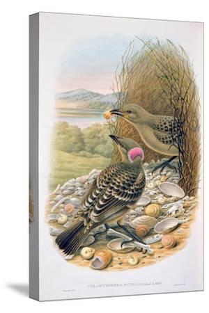 Chlamydera Nuchalis, Great or Great Grey Bowerbird-William M. Hart-Stretched Canvas Print