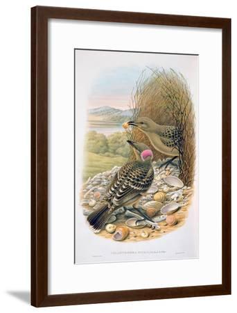 Chlamydera Nuchalis, Great or Great Grey Bowerbird-William M. Hart-Framed Giclee Print