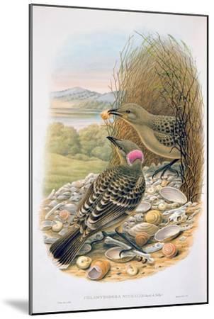 Chlamydera Nuchalis, Great or Great Grey Bowerbird-William M. Hart-Mounted Giclee Print