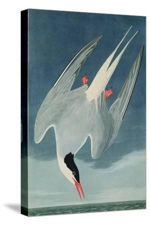 Arctic Tern, from 'Birds of America', Engraved by Robert Havell (1793-1878) Published 1835-John James Audubon-Stretched Canvas Print