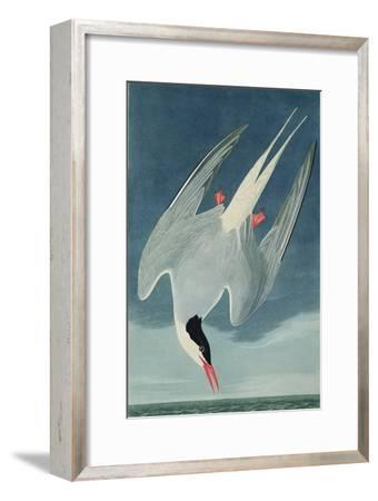 Arctic Tern, from 'Birds of America', Engraved by Robert Havell (1793-1878) Published 1835-John James Audubon-Framed Giclee Print