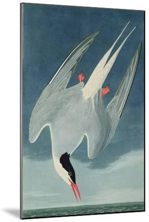 Arctic Tern, from 'Birds of America', Engraved by Robert Havell (1793-1878) Published 1835-John James Audubon-Mounted Giclee Print