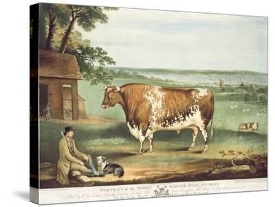 A Short Horned Bull, Patriot, Engraved by William Ward, Shrewsbury, 1810-Thomas Weaver-Stretched Canvas Print