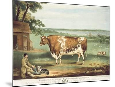 A Short Horned Bull, Patriot, Engraved by William Ward, Shrewsbury, 1810-Thomas Weaver-Mounted Giclee Print