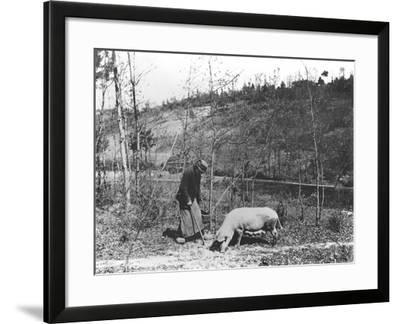 Searching for Truffles, C.1900--Framed Photographic Print