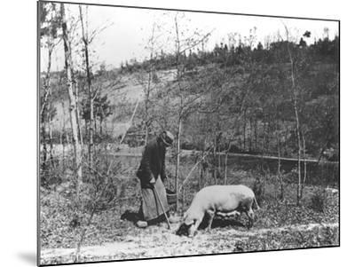 Searching for Truffles, C.1900--Mounted Photographic Print