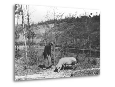 Searching for Truffles, C.1900--Metal Print