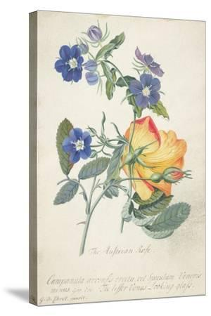 The Austrian Rose, Intertwined Spray of the Two Seperate Species-Georg Dionysius Ehret-Stretched Canvas Print