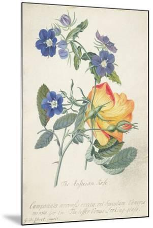 The Austrian Rose, Intertwined Spray of the Two Seperate Species-Georg Dionysius Ehret-Mounted Giclee Print