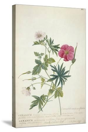 Geranium. Two Intertwined Stems of Different Species, 1767-Georg Dionysius Ehret-Stretched Canvas Print