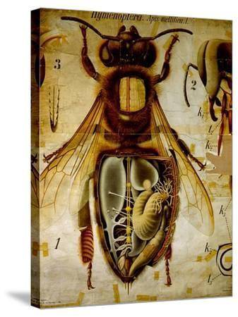 Anatomy of the Honey Bee, No.13, Pfurtscheller's Zoological Wall Chart-Paul Pfurtscheller-Stretched Canvas Print