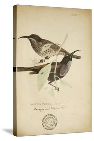 Nectarinia Cruentata, C.1863-Eduard Ruppell-Stretched Canvas Print