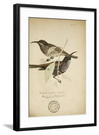 Nectarinia Cruentata, C.1863-Eduard Ruppell-Framed Giclee Print