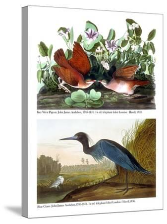 Key West Pigeon and Blue Crane, C.1833-36-John James Audubon-Stretched Canvas Print