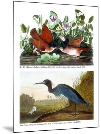 Key West Pigeon and Blue Crane, C.1833-36-John James Audubon-Mounted Giclee Print
